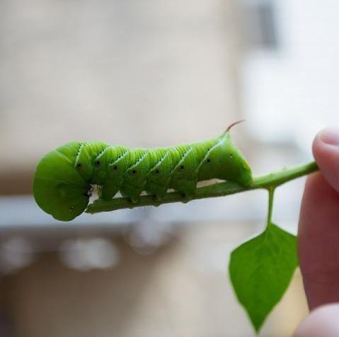 tomato-hornworms-green-caterpillar
